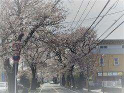 2018八ヶ崎サクラ